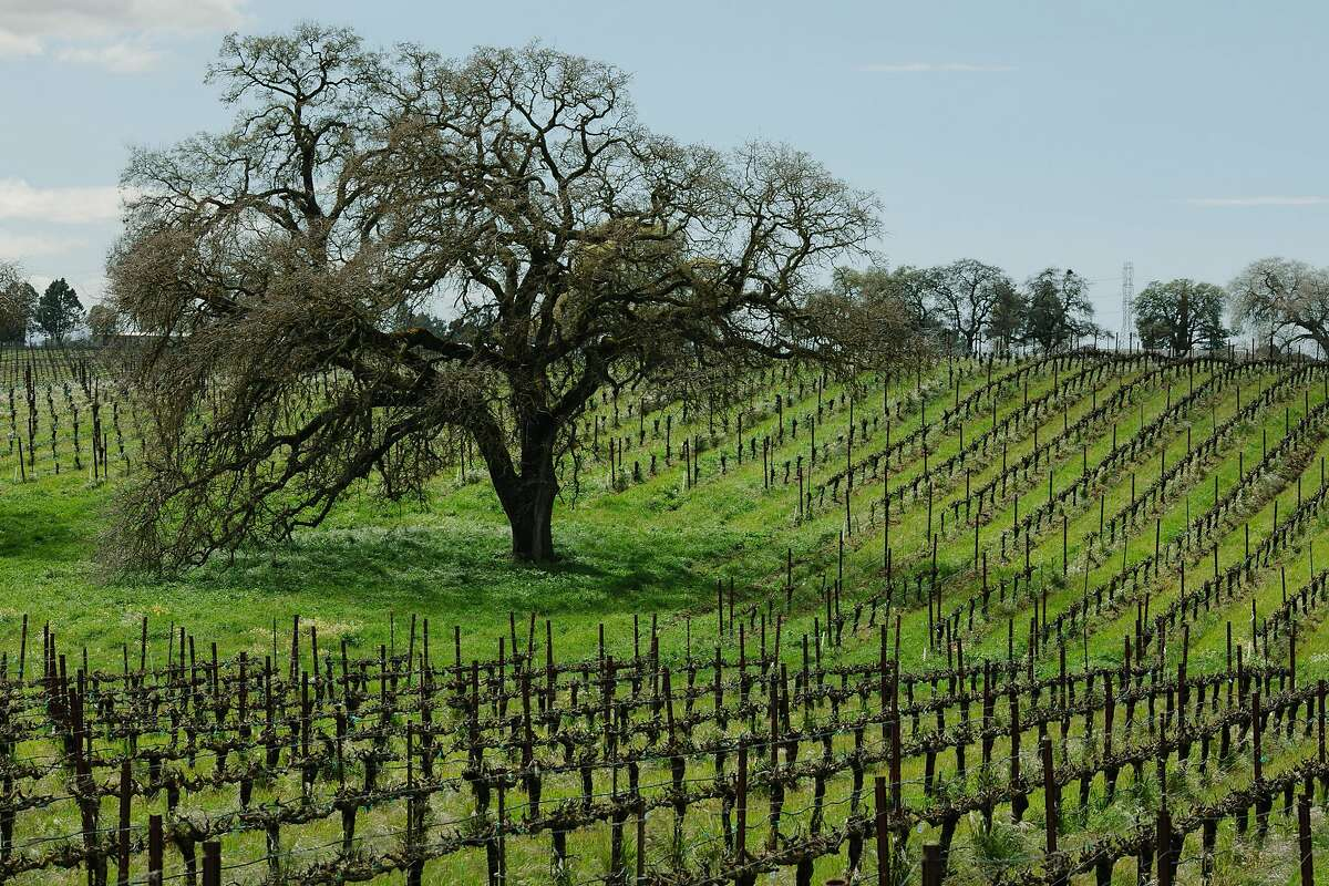 Bokisch Vineyards' rolling hills in Lodi, Calif., as seen on Thursday, March 22, 2018.