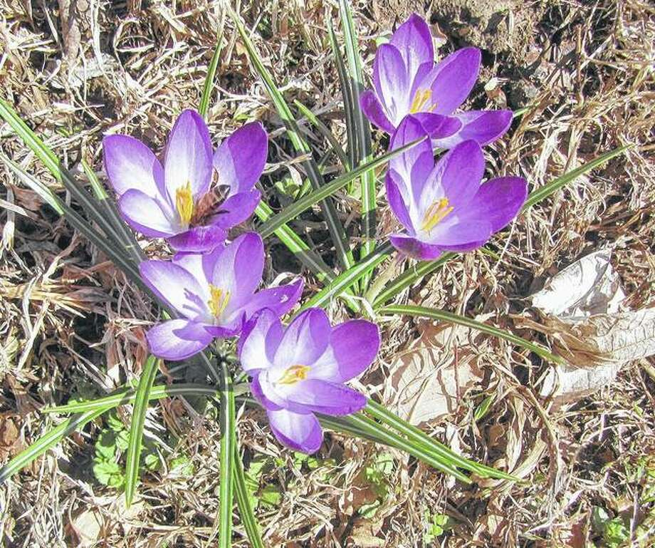 A honeybee pays a visit to a crocus starting to emerge for spring.