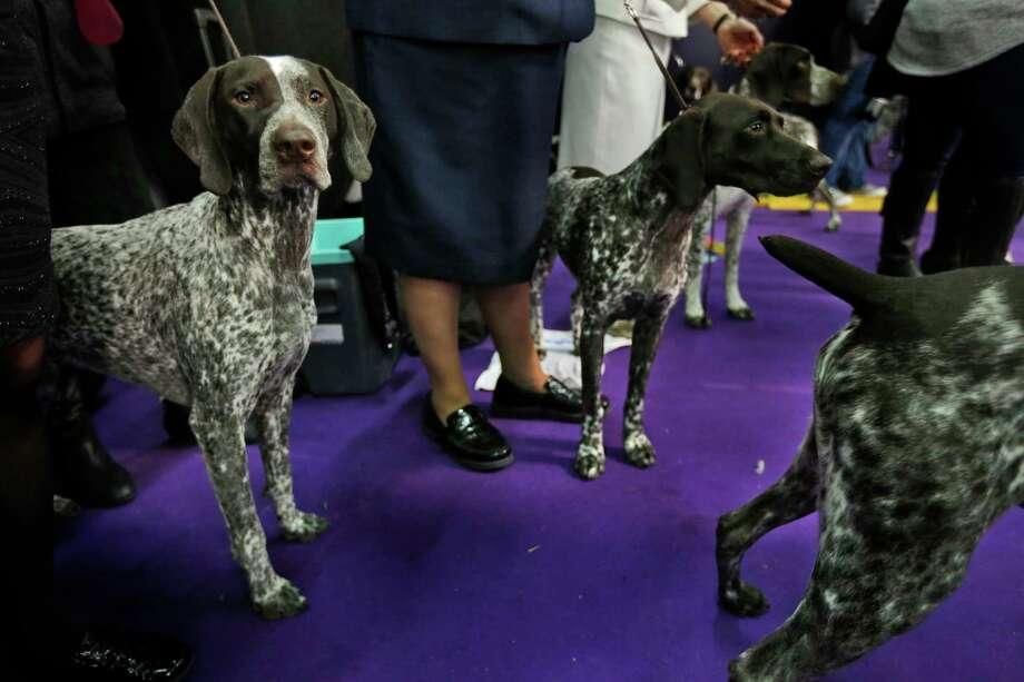 FILE -- German shorthaired pointers wait to enter the ring during the 142nd Westminster Kennel Club Dog Show in New York, Tuesday, Feb. 13, 2018. American Kennel Club rankings show Labs remain the country's most popular purebred dog for a 27th year.  The bulldog ranks fifth. Sixth through 10th are the beagle, the poodle, the Rottweiler, the Yorkshire terrier and the German shorthaired pointer, which cracked the top 10 for the first time. Photo: Seth Wenig, AP / Copyright 2018 The Associated Press. All rights reserved.