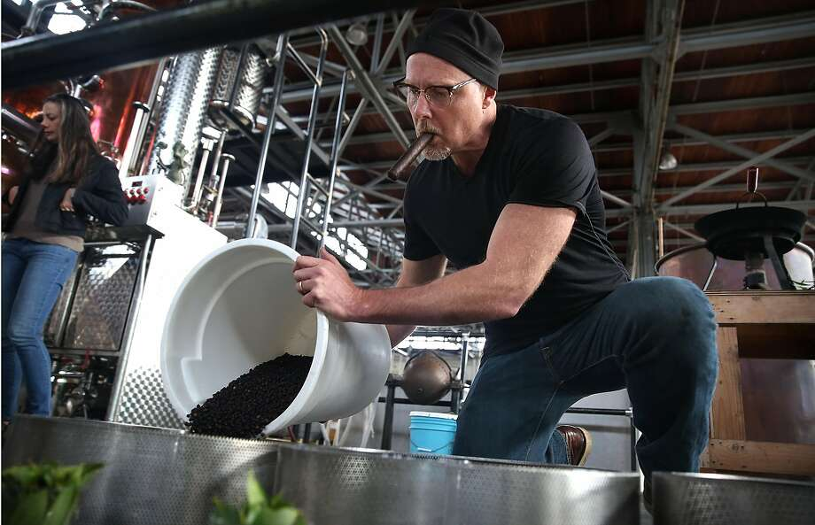 Master distiller Lance Winters fills a basket with juniper berries and California bay laurel at St. George Spirits in Alameda. Photo: Liz Hafalia / The Chronicle