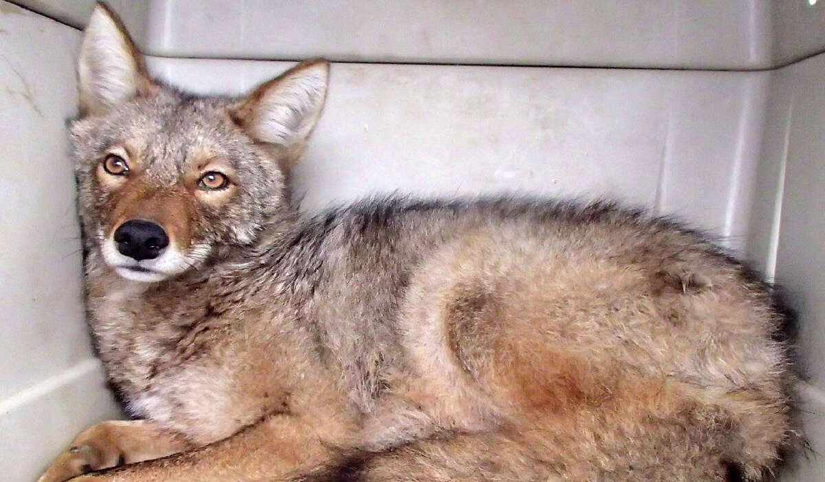 The coyote who was found at the State Museum on Tuesday was evaluated and set free on Wednesday, March 28, 2018.
