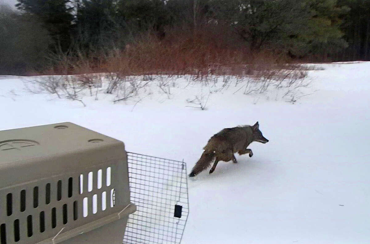 The coyote who was found at the State Museum on Tuesday was evaluated and set free on Wednesday, March 28, 2018. (NYS DEC)