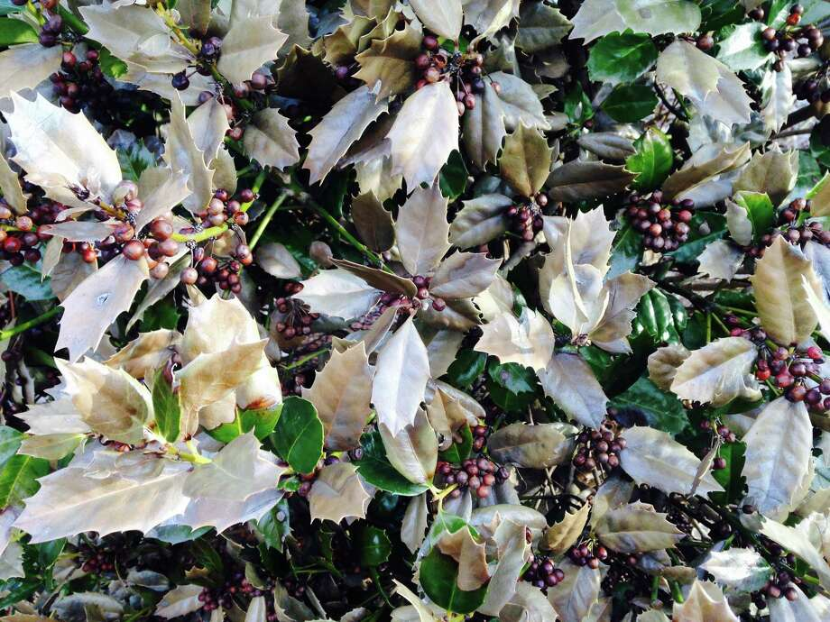 Some Holly Varieties Took The Brunt Of A Cold, Dry Winter. The Leaves Will