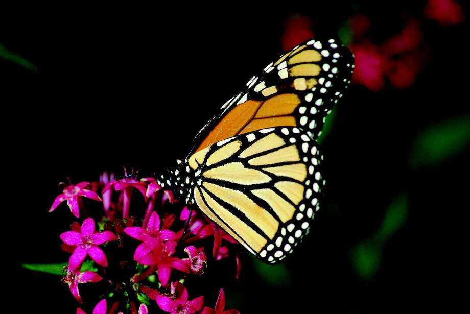 Pentas attract a variety of butterflies, including the monarch, with their colorful flowers and nectar. Photo: Geyata Ajilvsgi / Texas A&M University Press