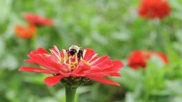 A bright red zinnia
