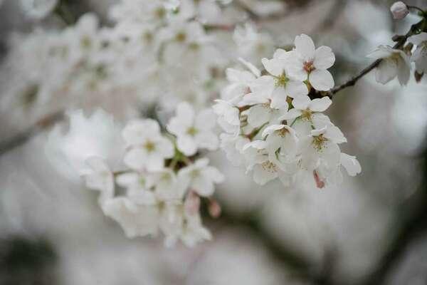 University of Washington's yoshino cherry trees are fully blossomed on Friday, March 23, 2018.