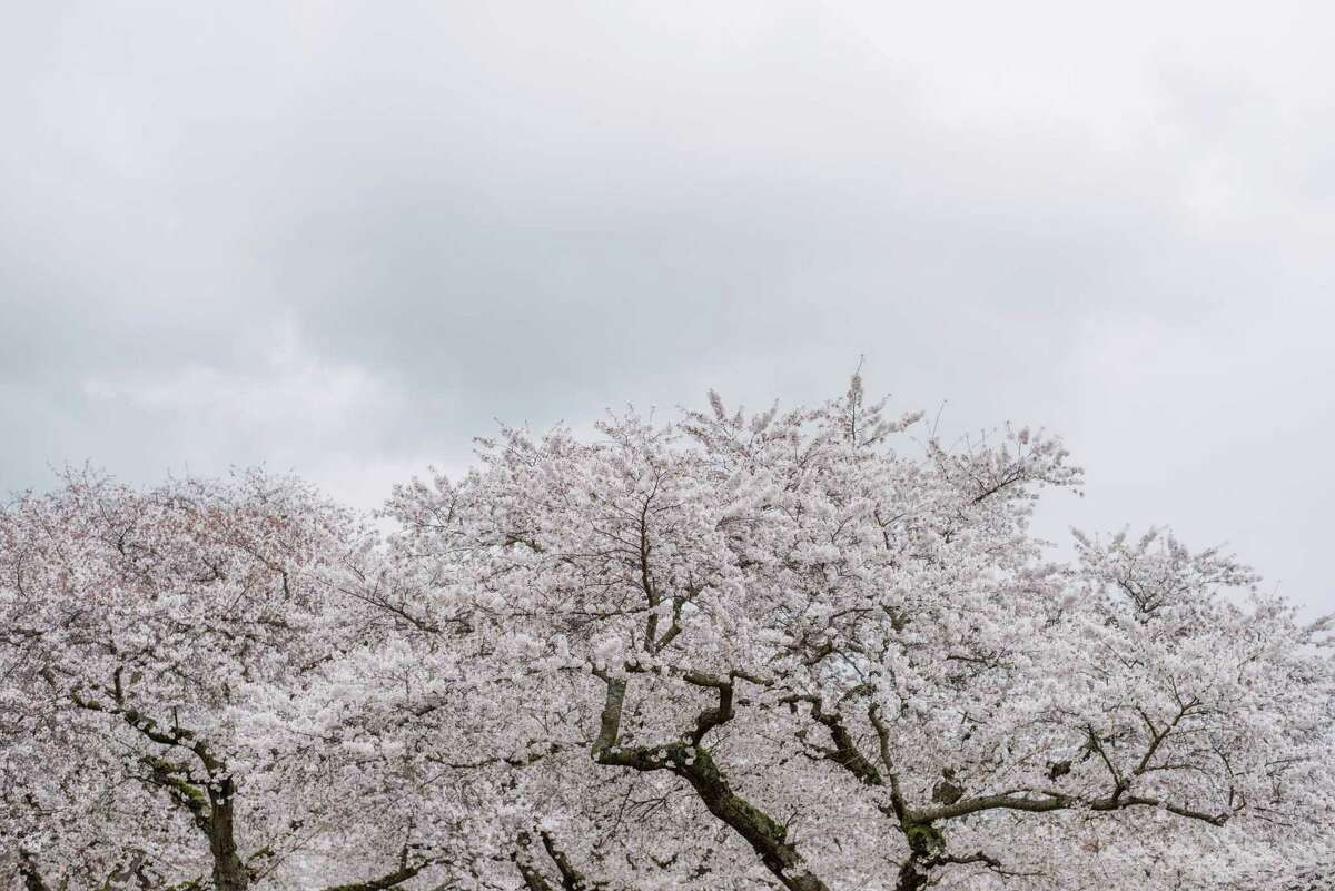 University of Washington's famed cherry blossoms in full bloom on Friday, March 23, 2018.