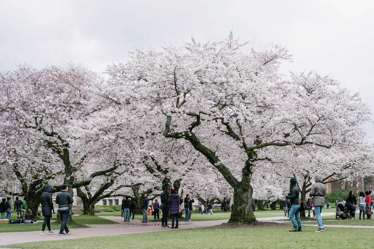 Spectators check out University of Washington's famed cherry blossoms between passing rain clouds on Friday, March 23, 2018.