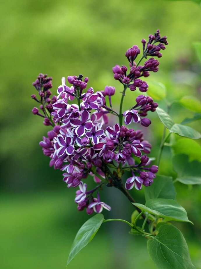 "A bi-color ""Sensation"" lilac is sure to draw the eye."