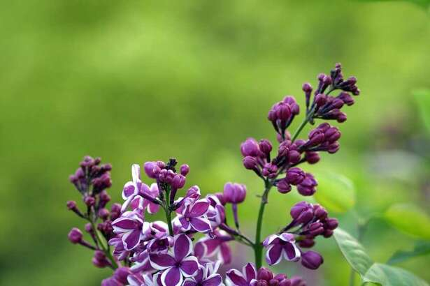 """A bi-color """"Sensation"""" lilac is sure to draw the eye."""