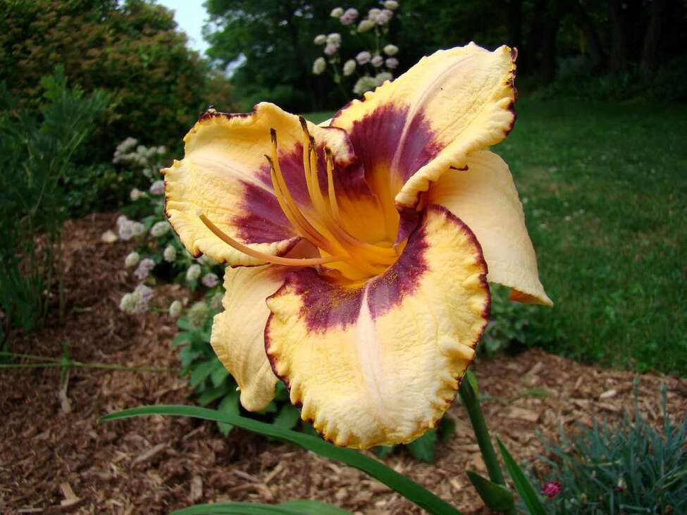 Although not a true lily - Hemerocallis or daylilies come in so many color combinations and are so easy to grow that they have to be high on my list of