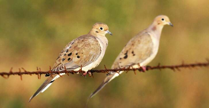 Wingshooters in Texas' dove-rich South Zone have for yearsclamored for an earlier opening of the general dove season in the bird-rich region. This autumn's Sept. 14 opening, set this past week, will be the earliest such opening day in more than half a century.