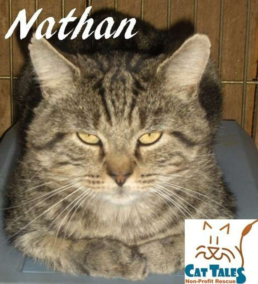 """Nathan ?is a 6-year-old brown tabby. He says: """"I have been through so much with living on the streets and getting my foot caught in an inhumane trap but I have been shown compassion and patience which really has me feeling like a whole new cat. It also helps that my foot is completely healed as well. I think belly rubs are the best things ever and I really enjoy a good petting session. It may take me a little bit of time to adjust to my new home but I know I will love it once I am there. I have FIV, but please don't let that scare you - humans and dogs can't get this and its very difficult for other cats to get. Just keep me healthy with annual vet exams and I can live just as long as any other cat. I'd love a family to finally call my own."""" Visit http://www.CatTalesCT.org/cats/Nathan, call 860-344-9043, or email: info@CatTalesCT.org Photo: Contributed Photo/Cat Tales"""