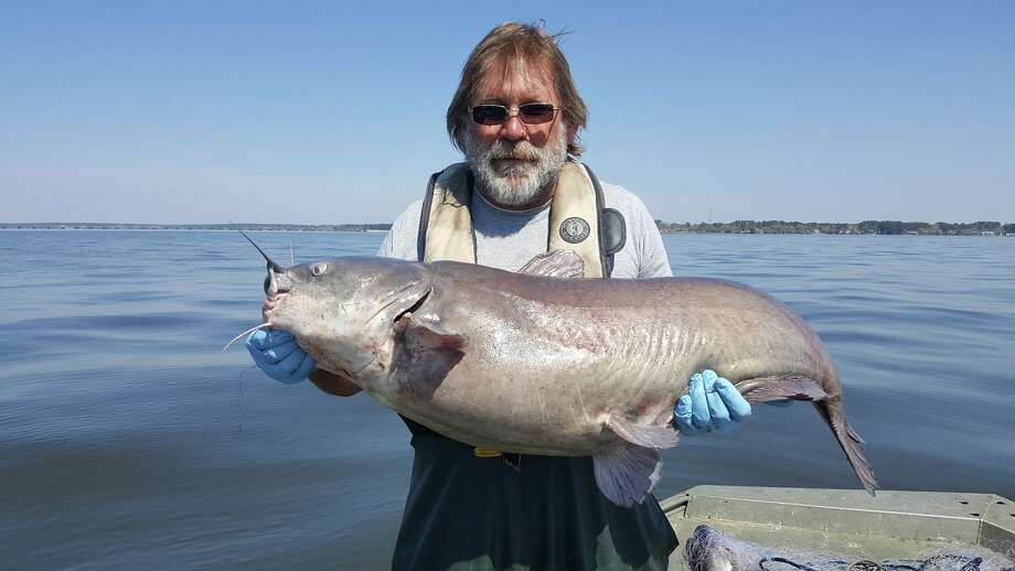 Carl Bignali of the Texas Parks and Wildlife's Inland Fisheries Management holds a 42-inch blue catfish caught during a March survey on Lake Conroe. Bignali estimated the fish weighs 30-40 pounds. But, the team caught an even bigger catfish in 2016... Photo: Inland Fisheries College Station-Houston District