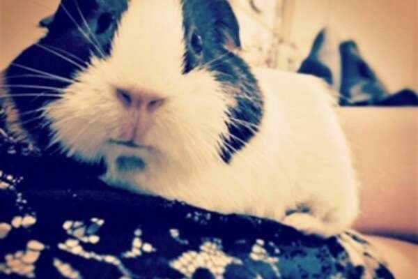 PETS REMEMBERED: Cat, the guinea pig.