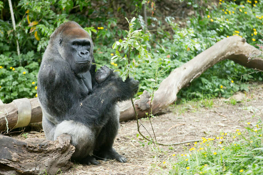 Leo, a male western lowland gorilla at Seattle's Woodland Park Zoo, died Thursday night after a brief illness. Photo: Jeremy Dwyer-Lindgren/Woodland Park Zoo