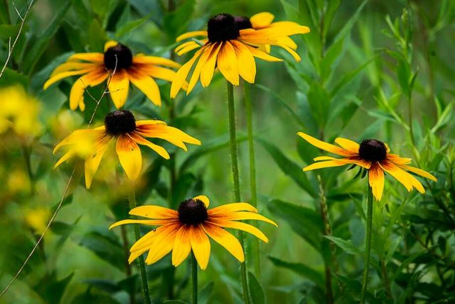 Black-eyed Susans Photo: Photos Courtesy Of Flanders Nature Center