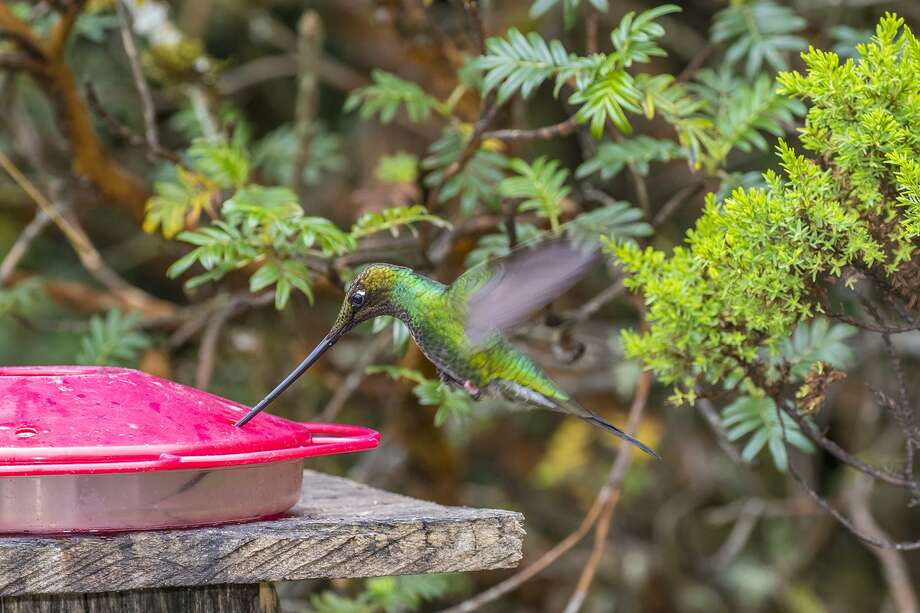 The sword-billed hummingbirds reside mostly in the wet montane forests of the Andes. Photo: Kathy Adams Clark / Kathy Adams Clark / Kathy Adams Clark