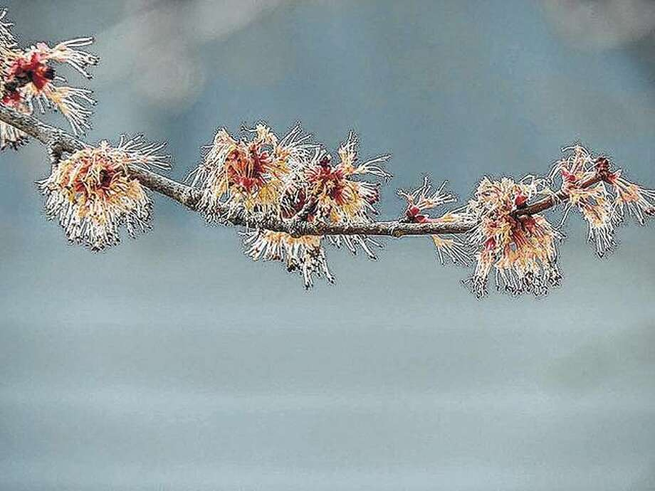 Buds emerge on a maple tree near Pere Marquette lodge in Grafton.