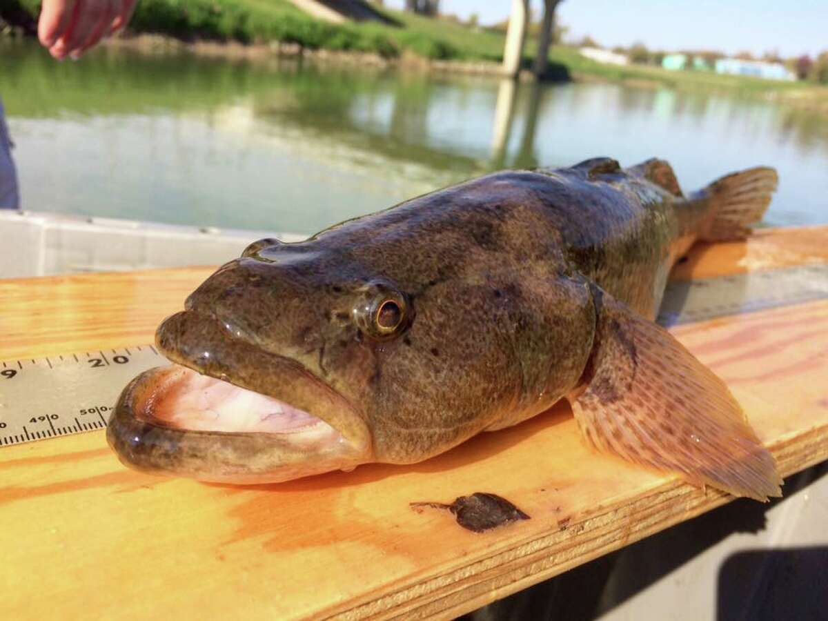 The bigmouth sleeper, an uncommon sight, lives in the coastal waters of southern Texas.