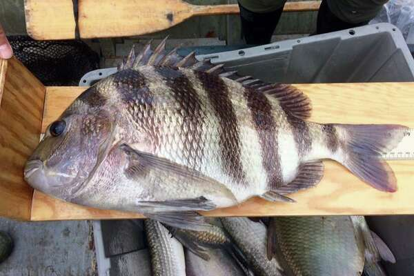 "Biologists said they were surprised to see sheepshead in water that was not very salty. ""Some marine speces like sheepshead are able to stand freshwater for a limited amount of time to forage for food in new places,"" the team said on Facebook."