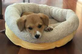 """This photo provided by the office of Gov. Jerry Brown on Friday, May 15, 2015 shows two-month-old puppy named Colusa """"Lucy."""" The governor and his wife, Anne Gust Brown, adopted the Pembroke Welsh Corgi and Border Collie mix earlier in the week. The Browns already have an 11-year-old Pembroke Welsh Corgi named Sutter Brown who has a large social media following and is often spotted with the governor. (Office of Gov. Jerry Brown via AP)"""
