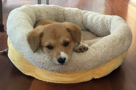 "This photo provided by the office of Gov. Jerry Brown on Friday, May 15, 2015 shows two-month-old puppy named Colusa ""Lucy."" The governor and his wife, Anne Gust Brown, adopted the Pembroke Welsh Corgi and Border Collie mix earlier in the week. The Browns already have an 11-year-old Pembroke Welsh Corgi named Sutter Brown who has a large social media following and is often spotted with the governor. (Office of Gov. Jerry Brown via AP)"