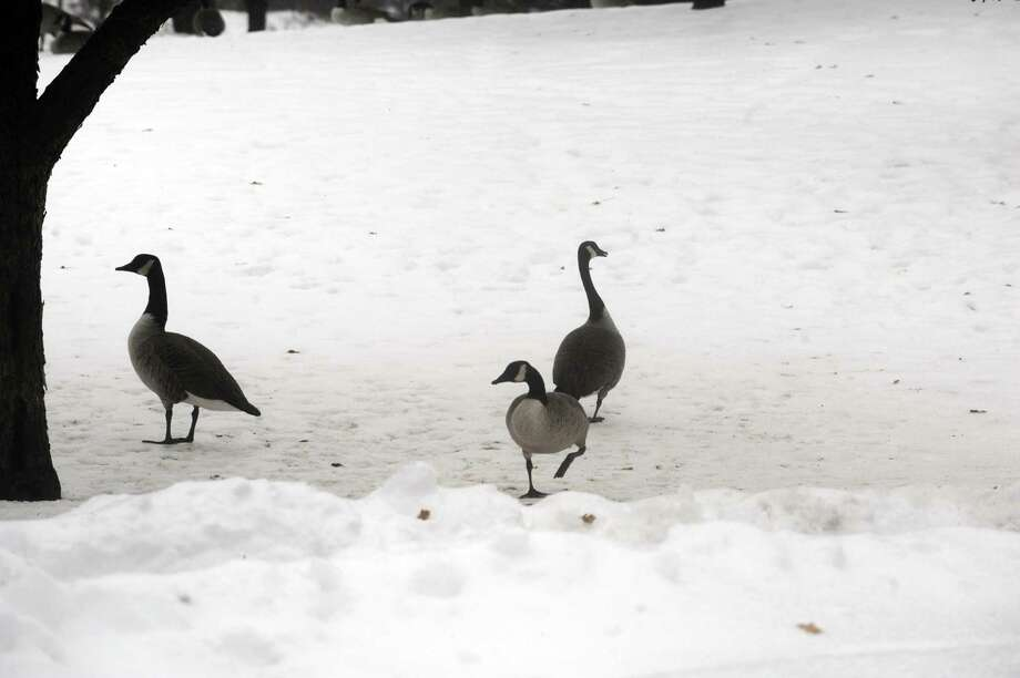 Canada geese in the snow at Bruce Park on Tuesday, Jan. 18, 2011. Photo: Helen Neafsey / ST / Greenwich Time