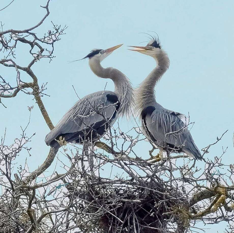 A pair of great blue herons nest near Clear Lake, a birder's paradise in Lake County. Photo: Faith Rigolosi