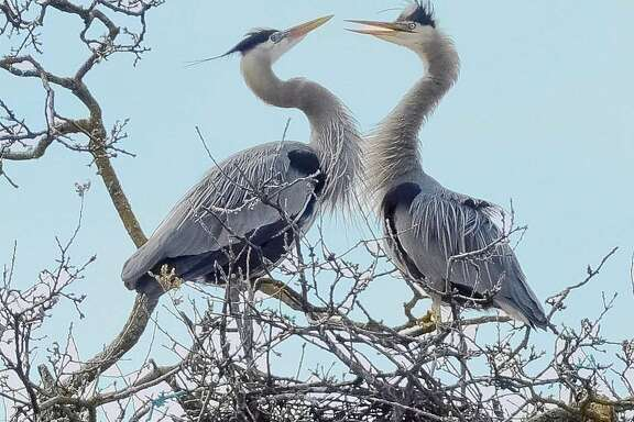 A pair of great blue herons nest near Clear Lake, a birder's paradise in Lake County.