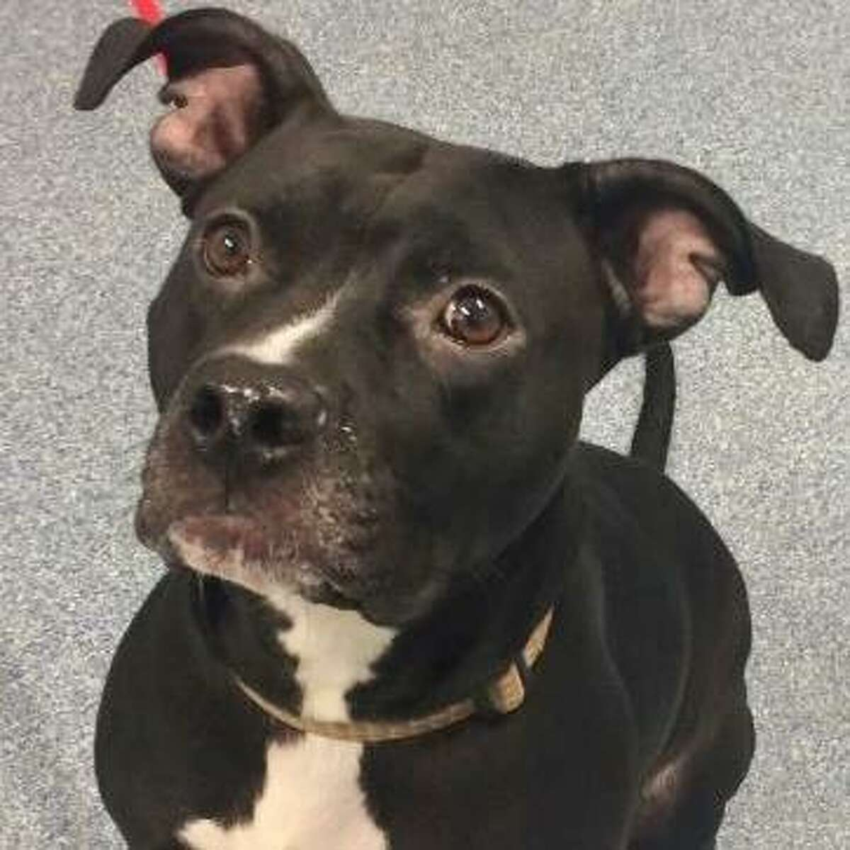 Anastasia is a 2-year-old female American pit bull terrier mix available at the Menands adoption center. Here is her biography: