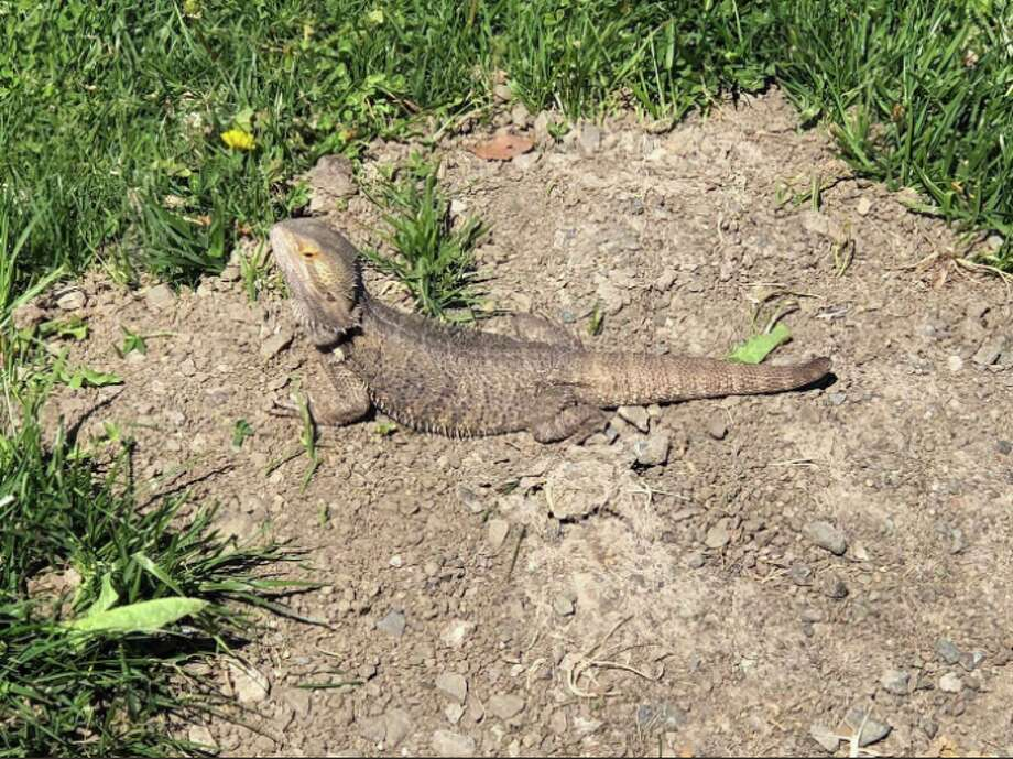 Martinez Police Apprehend Bearded Dragon After Foot Chase Sfgate