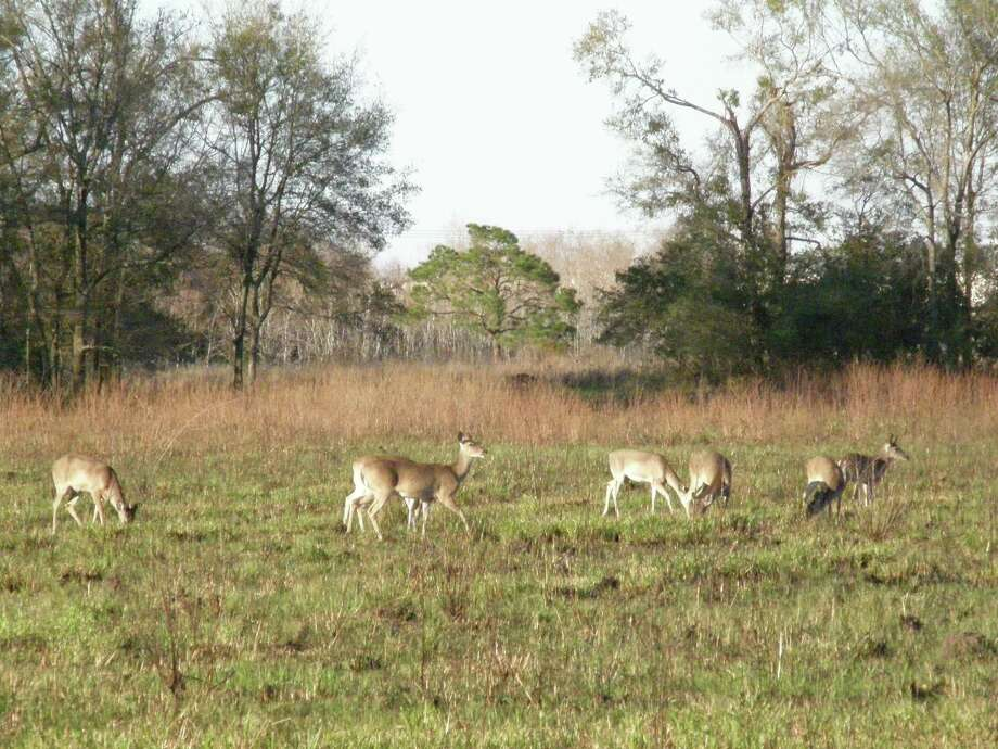 Wildlife that can be observed at the Armand Bayou Nature Centur includes deer. A gala is scheduled to provide funding for center features and programs. Photo: Marilyn Clark / Citizen Intern