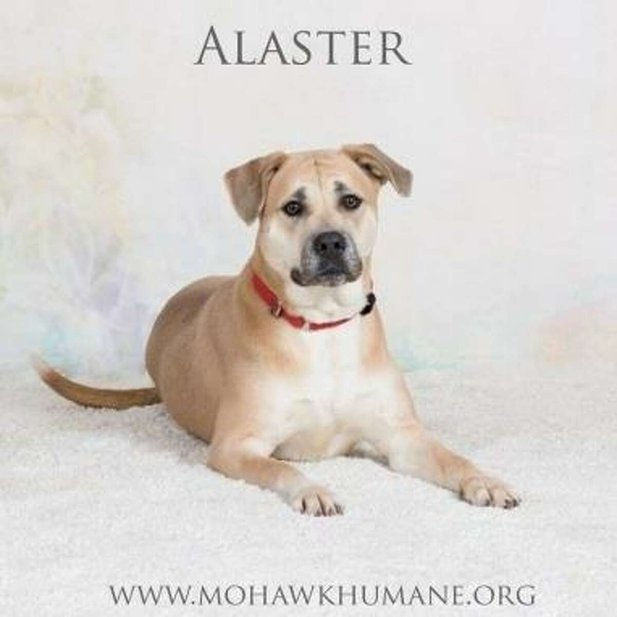 Alaster is a 1-year-old male hound mix available at the Menands adoption center. Here is his biography: