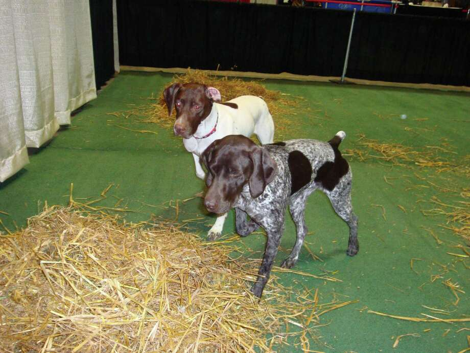 """Hartford is hosting the Northeast hunting and fishing show, April 6-8. Hunting dogs doing """"pointing"""" demonstrations from Dusty W German Shorthaired Pointers of Palmerton, Penn. is part of this year's show. Photo: Contributed Photo / Dusty W"""