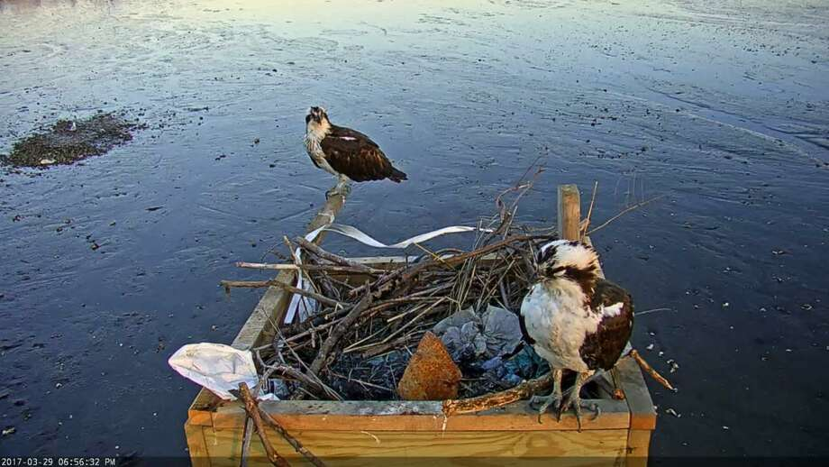 Osprey cam photos Photo: Contributed
