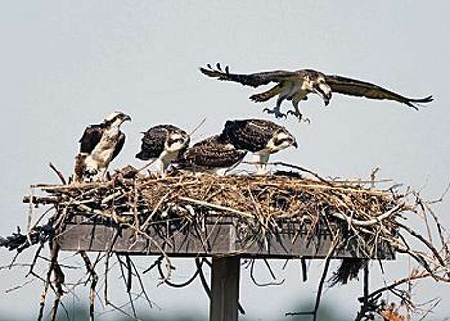 An osprey family uses a nesting platform along the Connecticut shoreline on Aug. 9, 2015. Photo: Contributed Photo / DEEP Paul J. Fusco