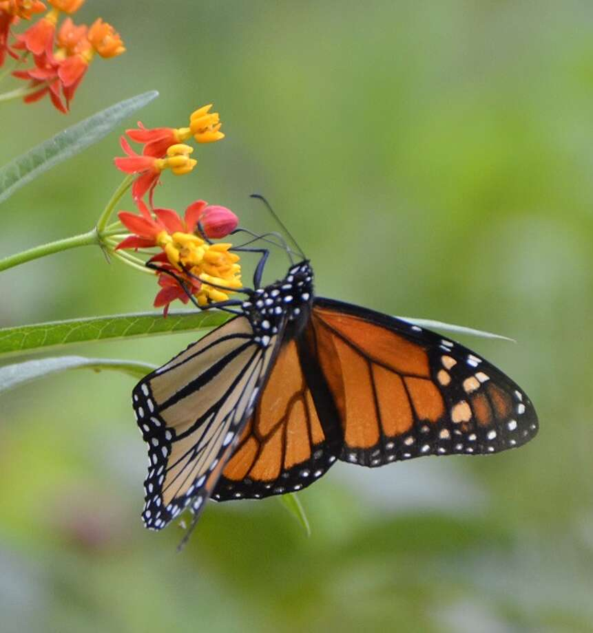 "The Fort Bend County Master Gardeners are hosting a family-friendly ""Butterfly Celebration"" on Saturday, May 5 from 9 a.m. until noon at the Master Gardeners Demonstration Gardens located behind the Texas A& AgriLife Extension Service office at 1402 Band Road in Rosenberg. Admission is free and reservations are not required. For more information, visit www.fbmg.org or call 281-341-7068. Photo: Courtesy Photo"