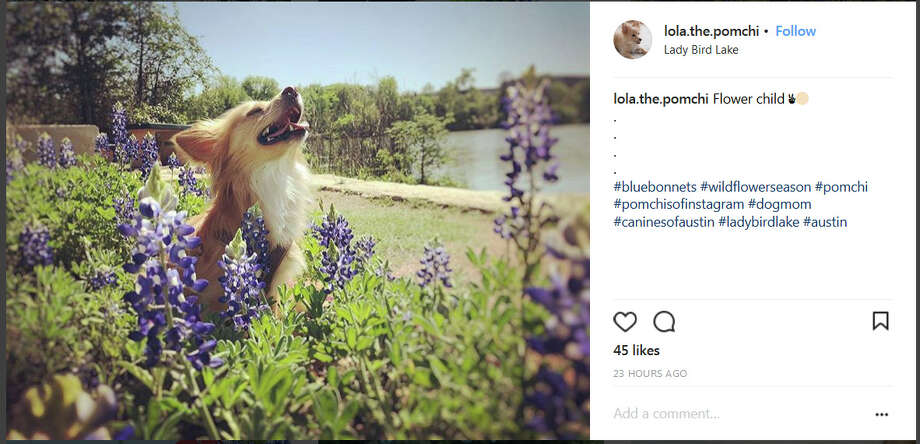 Instagram screengrab / @lola.the.pomchi