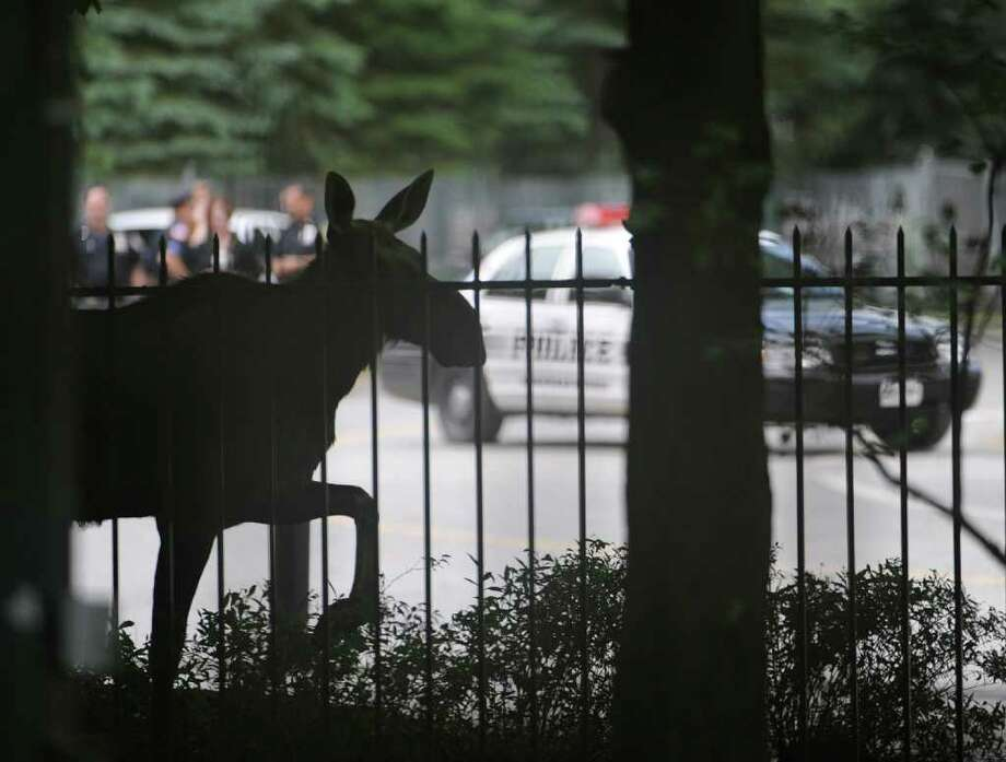 A female moose visits Saratoga Race Course in Saratoga Springs in 2009. The moose made a trip down Broadway in Saratoga Springs at approximately 4a.m. before taking a leisurely trip across town to the track where she was let in the gate so officials could keep closer tabs on her.  (Skip Dickstein / Times Union) Photo: SKIP DICKSTEIN