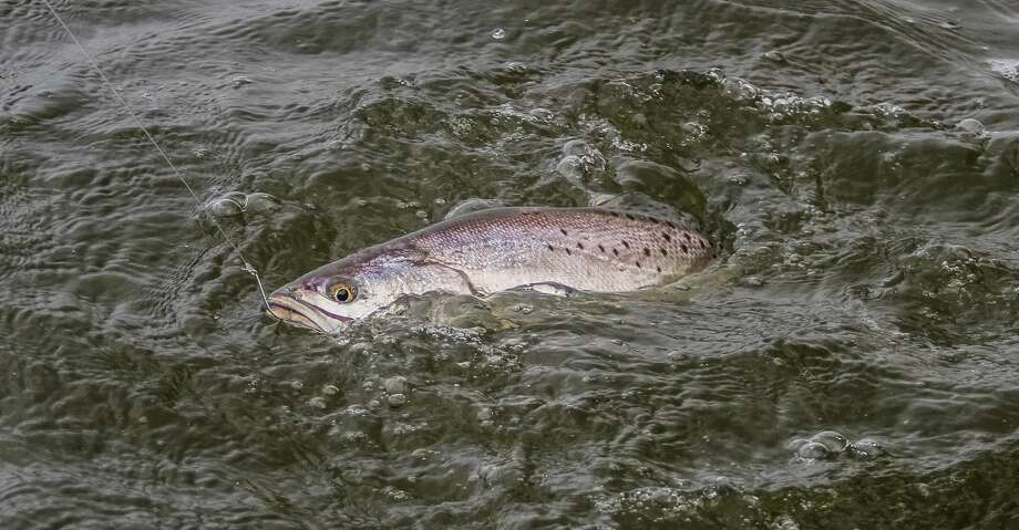 Research conducted this past autumn indicated speckled trout populations in Texas bays were as high or higher - in some bays, much higher - than the previous year. That carry-over sets the stage for what could be a fast start to 2018's warm-weather fishing season. Photo: Shannon Tompkins/Houston Chronicle