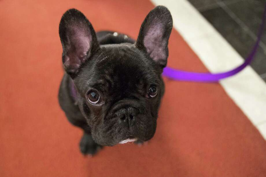Pua, a 5-month old French bulldog, poses for photographers during a news conference at the American Kennel Club headquarters last week. A dog similar to Pua died on a United Airlines flight in March. Photo: Mary Altaffer, STF / Associated Press / Copyright 2018 The Associated Press. All rights reserved.