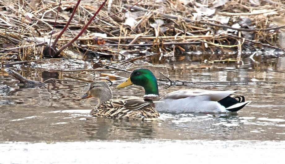 This pair of Mallard ducks recently made a stopover at the Municipal Harbor in Bay Port. They fed for awhile and then moved on. Photo: Bill Diller/For The Tribune