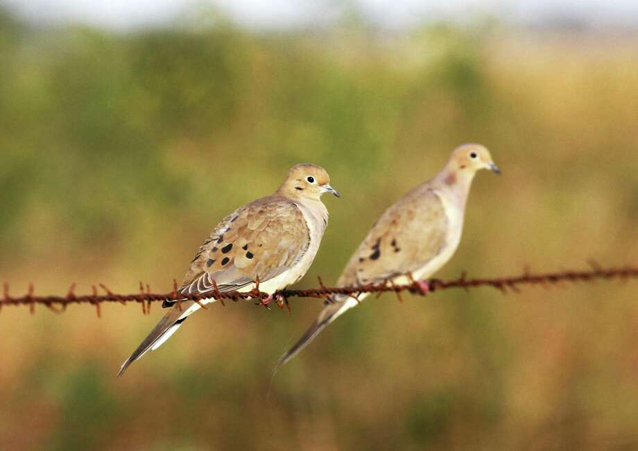 Wingshooters in Texas' dove-rich South Zone have for years clamored for an earlier opening of the general dove season in the bird-rich region. This autumn's Sept. 14 opening, set this past week, will be the earliest such opening day in more than half a century. Photo: Shannon Tompkins / Houston  Chronicle