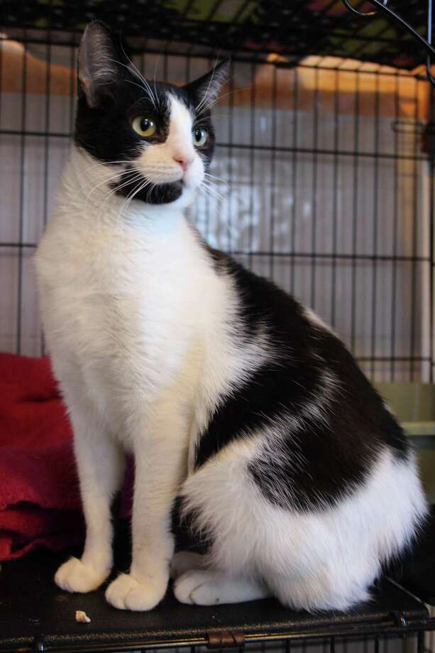 Fiji, a young girl, is funny and sunny and bright. She hasn't been with us long, but has already come out of her shell and each day is getting more curious about the world, cats and people around her. To reach Mary's Kitty Korner, call 860-379-4141/413-297-0537 or email marys.kitty.korner@sbcglobal.net Photo: Contributed Photo / Mary's Kitty Korner