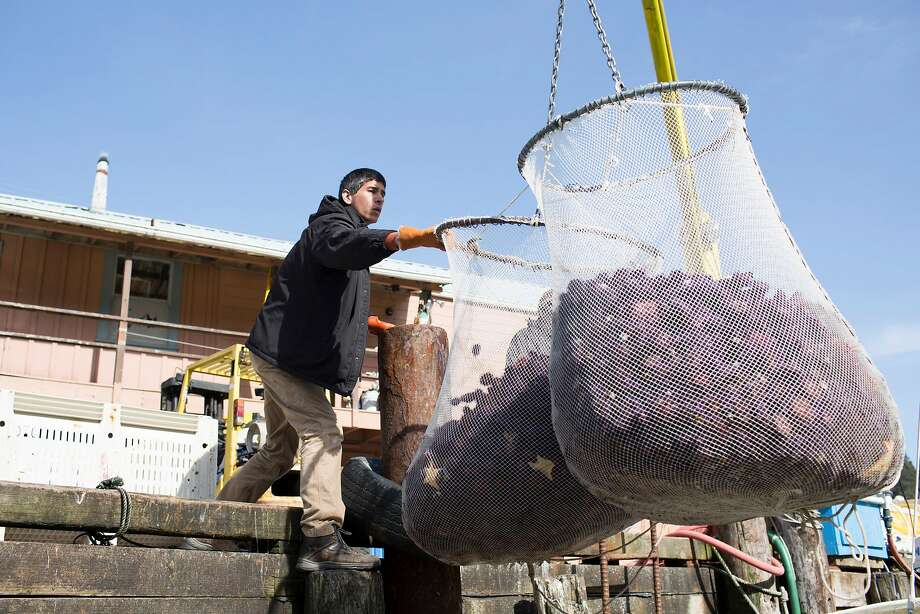 Brandon Juntz lifts nets filled with purple sea urchins from Jon Holcomb's boat at Noyo Harbor onto the dock in Fort Bragg. Photo: Brian Feulner / Special To The Chronicle