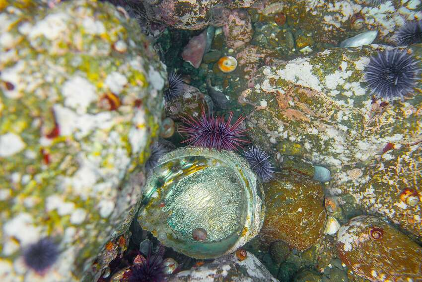 Abalone West Coast from Point Conception, Calif to Punta Abreojos, Baja California, Mexico)