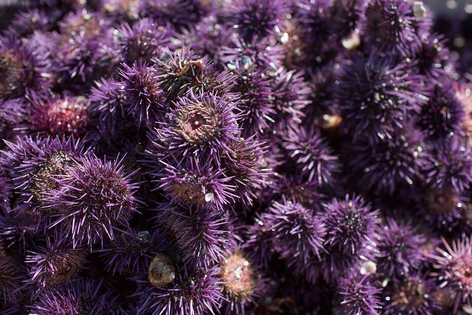 Purple sea urchin fill a box at Noyo Harbor in Fort Bragg, Calif. on Tuesday, March 3, 2018. Professional divers are removing the invasive purple sea urchin from sections of Northern California's coastal waters in an attempt to jump start the growth of kelp and reignite the red abalone population. Photo: Brian Feulner / Special To The Chronicle