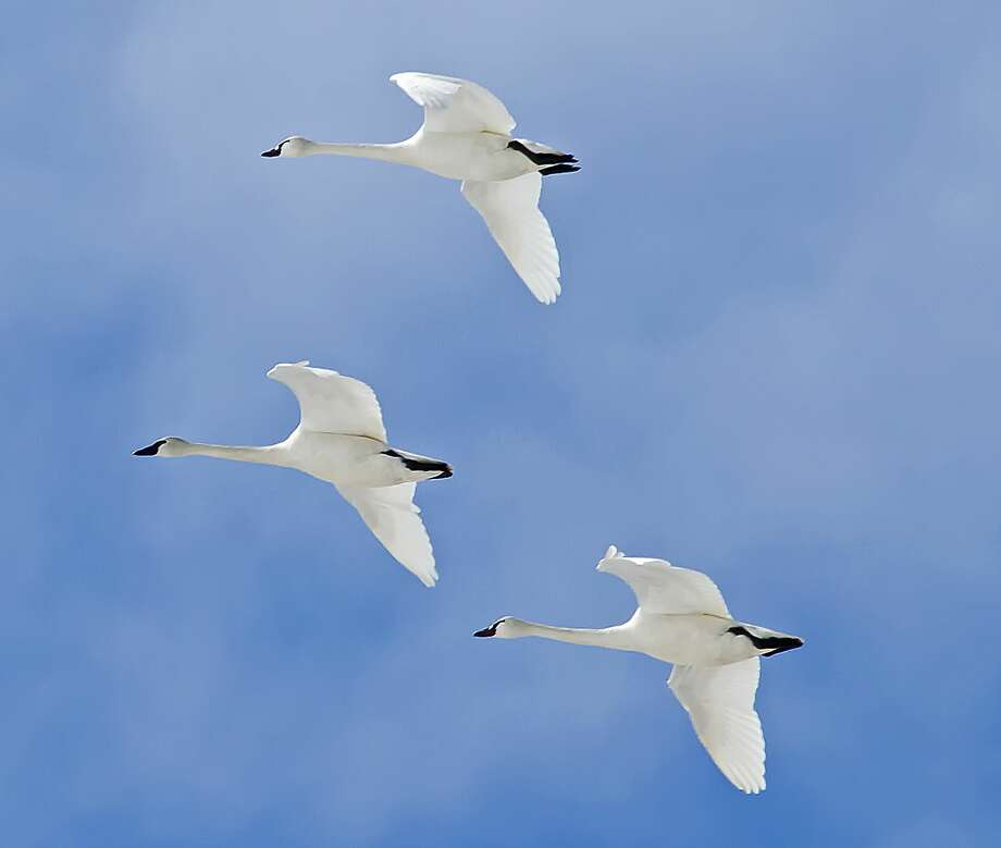p.p1 {margin: 0.0px 0.0px 0.0px 0.0px; font: 15.0px Calibri} span.s1 {font-kerning: none}Tundra swans were recently spotted in flight over Fish Point Wildlife area. Photo: Bill Diller/For The Tribune