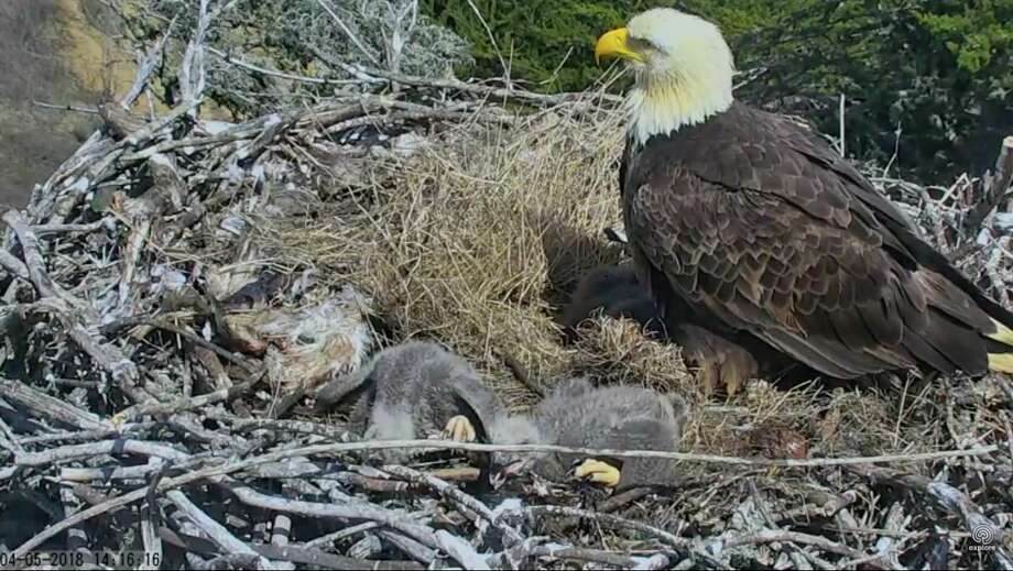 A mother bald eagle got a scare when a 5.3-magnitude earthquake rocked her nest perched in a tree in the Channel Islands National Park off the coast from Santa Barbara, Calif. Photo: Explore.org